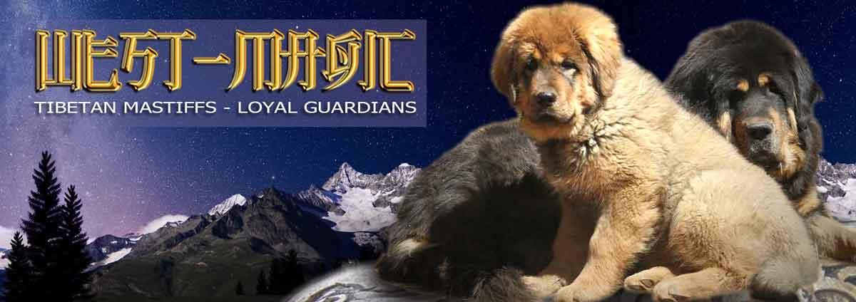 TIBETAN MASTIFF WEST MAGIC